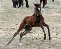 Mr. Rodriguez as a foal