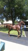 WABEL, (then hip #44) @ OBS 6/2014 2YO Sale