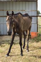 This is from July 2016 when she was surrendered to Lone Star Ranch and Rescue. She has made a full recovery.